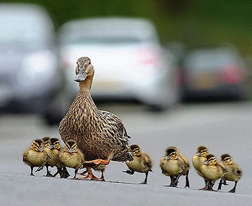 Ducks crossing a road