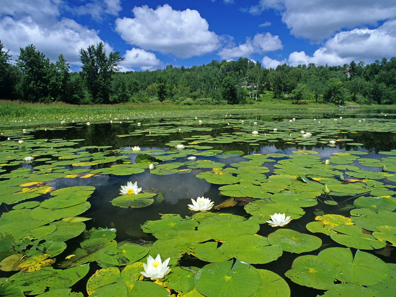 Water lillies covering a pond