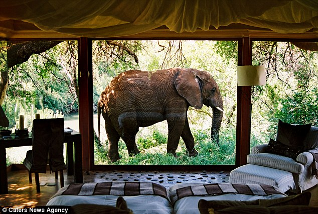 An elephant outside looking in